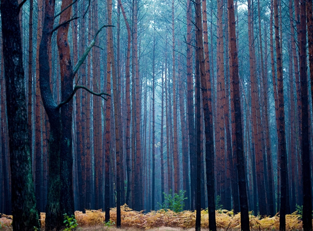 afp. hét képei - Fürstenwalde, Németország 2015.10.15. erdő, fák, fenyves, ősz, őszi táj, Pale light hangs in a pine forest during a rainy autumn morning on October 15, 2015 near Fuerstenwalde, eastern Germany.