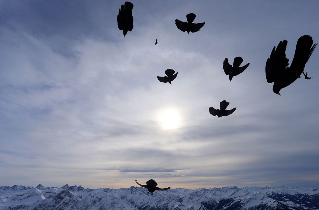 afp. hét képei - 2016.02.09. Oberstdorf, Németország, madarak, hegycsúcs - Alpine choughs start from the summit of the 2,224 meters high Nebelhorn mountain near Oberstdorf, southern Germany, towards a snow-covered Alpine panorama, on February 9, 2016.