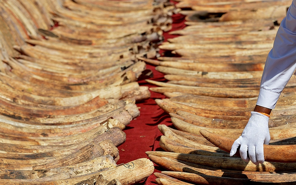 afp. hét képei - 2016.01.26. Srí Lanka, elefántagyar, A Sri Lankan customs officer holds part of a cache of blood ivory before it was destroyed in Colombo on January 26, 2016.  Sri Lanka destroyed 359 pieces of ivory seized at the Colombo port in May 2012