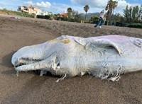 Öt bálna halt meg az olasz partoknál, kettő gyomrában találtak műanyagot