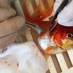 250 dollárért műttették meg a 20 éves aranyhalat