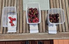 Drágák a gyümölcsök, de vajon megéri megvenni a 2300 forintos cseresznyét?