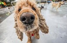 Magyar és svéd tudósok: a kutya orra érzékeli az infravörös sugárzást