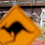 Látott már kengurut hintázni? Itt a vissza nem térő alkalom