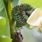 Magyar panel előtt érik a banán - fotók