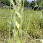 Öt hektáron rendeltek el parlagfűirtást július elseje óta