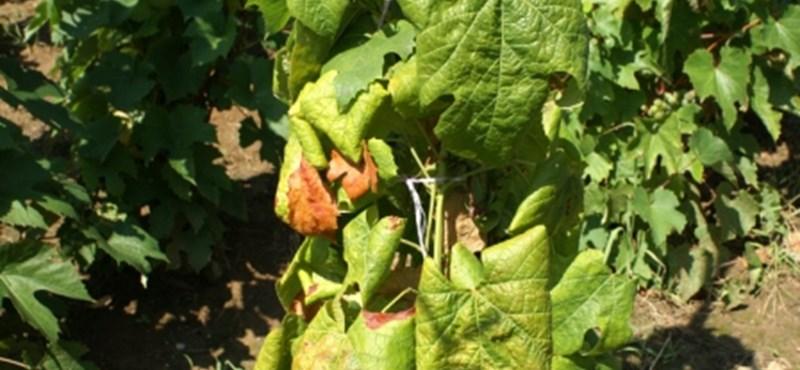 Baj van a szőlővel Pécsen, növény-egészségügyi zárlatot rendeltek el