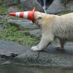 Igazi mókamesterek az egyéves jegesmedve-ikrek Münchenben – fotók