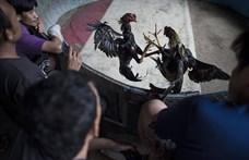 Tömeges letartóztatás egy spanyolországi kakasviadalon