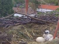 Videó: kikelt az első gólyafióka az ostffyasszonyfai fészekben