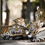 Látogatók előtt szült a nyíregyházi szibériai tigris (fotókkal)