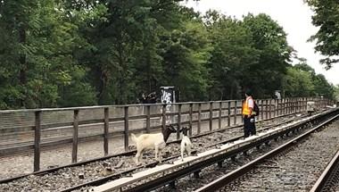 Kecskék legelésztek a New York-i metró sínjei között