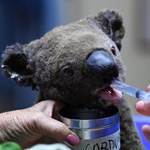 """""""Nincs hova menniük"""" – veszélyben vannak Ausztrália koalái"""