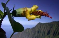 10 éve kihaltnak hitt növényt találtak Hawaiin