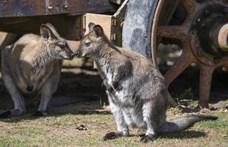 Széttépett egy róka négy kengurut a stralsundi állatkertben