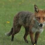 Hemzsegnek a rókák a Balatonnál