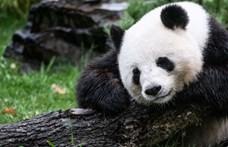 Visszatértek Kínába a Kanadának kölcsönadott óriáspandák, mert a járvány miatt veszélybe kerültek