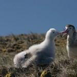 Önálló fajnak ismerik el a világ legritkább albatroszát