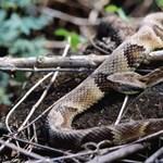 Fotó: ilyen mérges kígyót harapott halálra egy másfél éves gyerek
