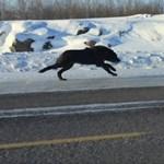 Azért az para, amikor farkasok rohannak a kocsink mellett egy főúton – videó