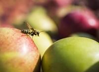 A magyarok után a francia gazdák is az olcsó lengyel alma miatt panaszkodnak