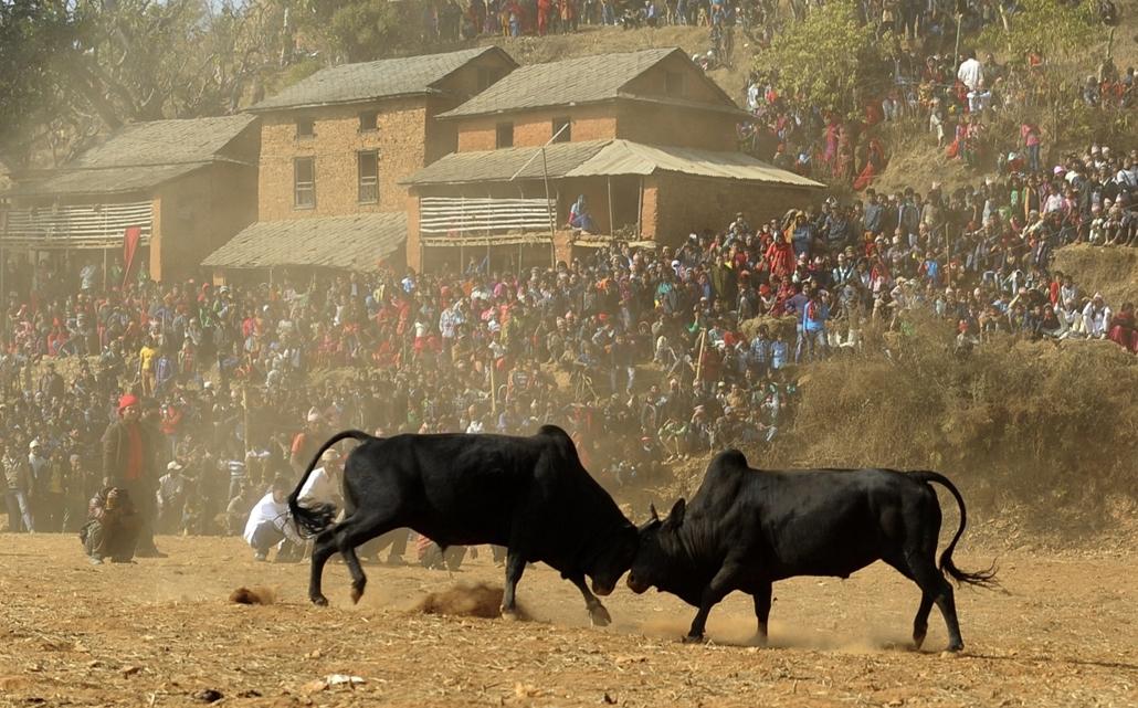afp. 0113-019 - hét képei - 2014.01.15. Nepál, Nuwakot, bikaviadal