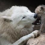 Hatmilliárdos kárt okoztak a bárányfaló farkasok, most akkor lőjék ki mindet?