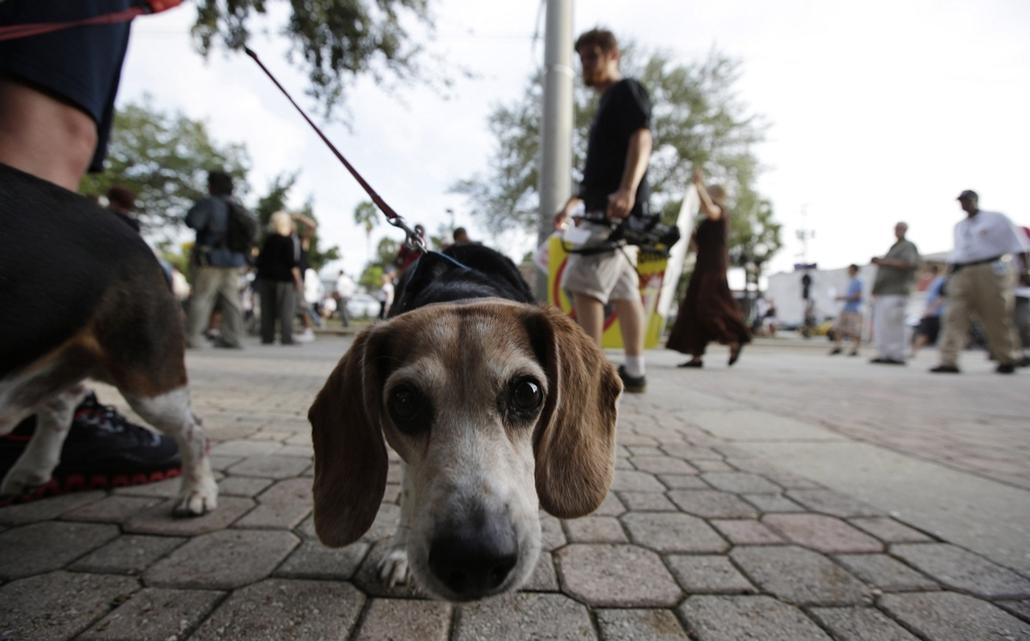 Hét képei nagyítás - Tüntető sétáltatja kutyáját Tampa belvárosában, ahol tüntetők tiltakoztak a republikánusok jelölőgyűlése előtt.