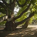 Gratuláltak az év fájának az egriek