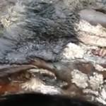 12 ezer éve élt orrszarvú maradványai kerültek elő Szibériában