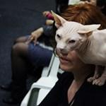Szőröstől a csupaszig: macskakiállításon jártunk – Nagyítás-fotógaléria