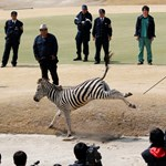Tragédiába torkollt a zebraüldözés Japánban - fotók