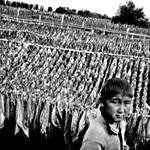 Botrány a Marlboro-birodalomban: gyerekek dolgoztak a dohányföldeken