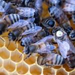 Hápognak és tülkölnek a méhkirálynők, és a tudósok már azt is tudják, miért