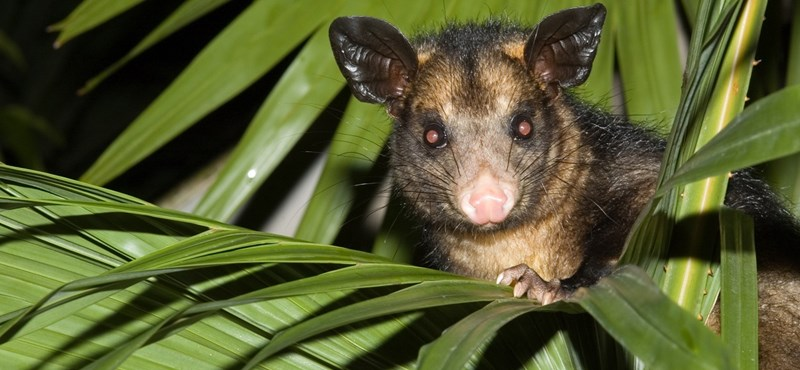 Gyomorforgató felvételen harap bele egy tinédzser egy élő oposszumba