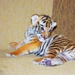 Videó: vígan szopik a kistigris a győri állatkertben