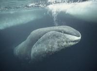 Miért nem indultak el szokásos vándorútjukra a grönlandi bálnák?