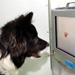 Érintőképernyős kütyükkel tréningezik az idős kutyák agyát