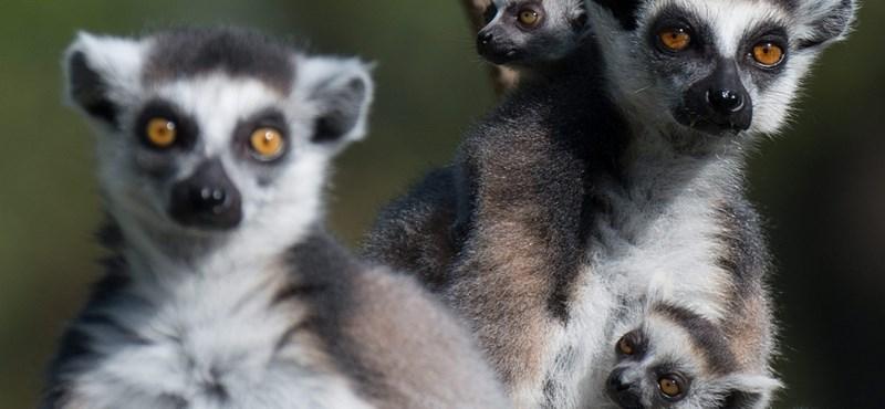 Fotók: Nagyon helyesek az új kismakik Kecskeméten