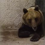 Hivatalos: Robi, a medve valójában nőstény