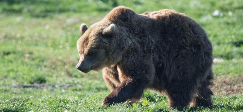 A bear attacked three shepherds in Zicklerland, killing one, and the other had to undergo surgery for seven hours