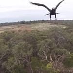 Így vadássza le a drónt egy sas – videó