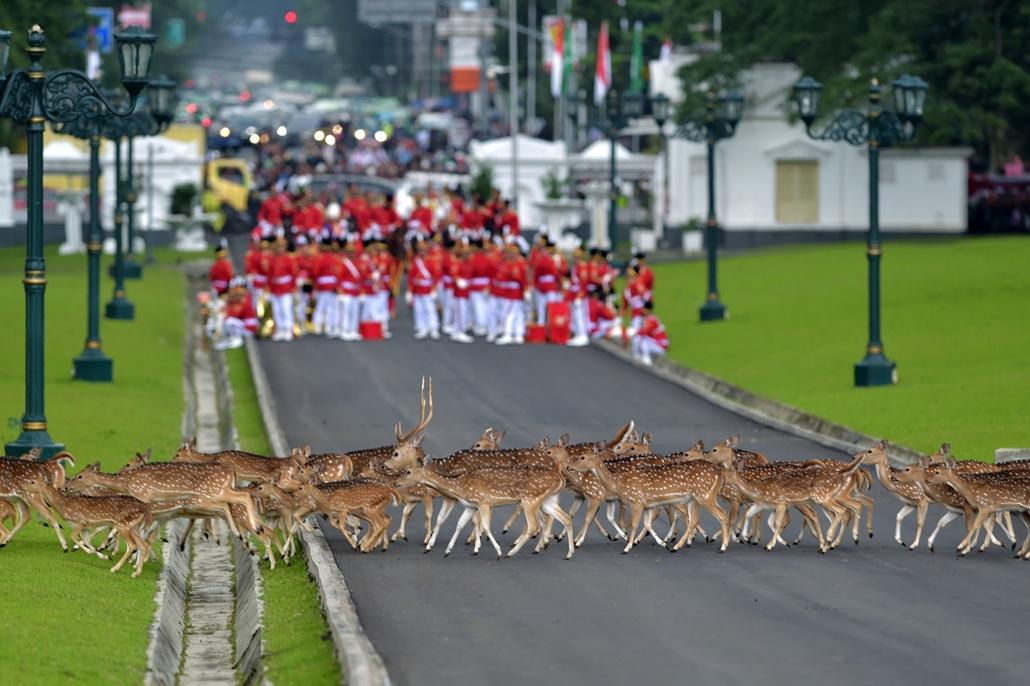 afp.17.03.01. - Bogor, Indonézia: Szarvasok kelnek át az indonéz díszőrség érkezése előtt. - 7képei