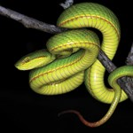A Mardekár-ház alapítójáról neveztek el egy kígyót