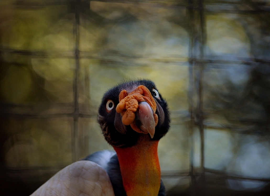 afp. 2014. állatos nagyítás, Los Angeles, Egyesült Államok, 2014.10.06. Királykeselyű, A King Vulture which is native to the jungles of Central and South America on display at the Los Angeles Zoo on October 6, 2014.  The zoo, located beside Los Angeles' G