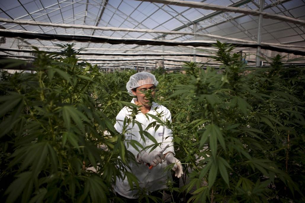 AP. Izrael: munka a Tikkun Olam orvosi cannabis farmon Safed városában. Izraelben csak orvosi használatra engedélyezett a marihuánafogyasztás, mivel a kilencvenes évek elején a rákos és a fájdalommal kapcsolatos megbetegedésekben sikereket értek el. - hét