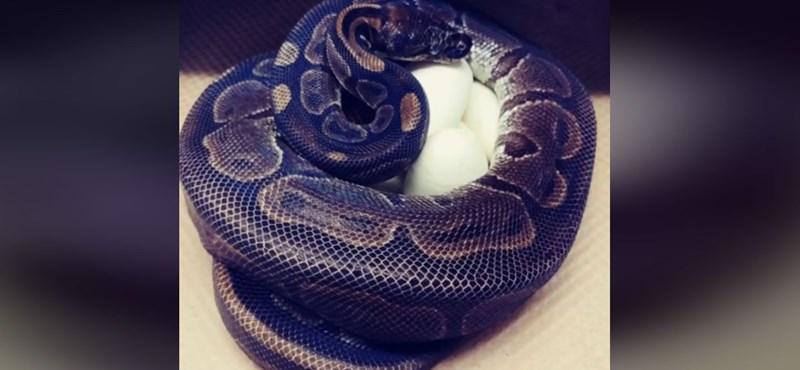 Párzás nélkül rakott hét tojást egy óriáskígyó az Egyesült Államokban
