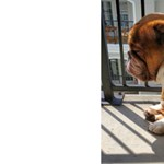 Ez a bulldog tökéletesen megmutatja, mi az a karantén-szomorúság