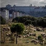 Juhokat legeltetnek a legnagyobb madridi parkban