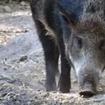 Indulhat a röfögés: vadmalackák születtek a Budakeszi Vadasparkban